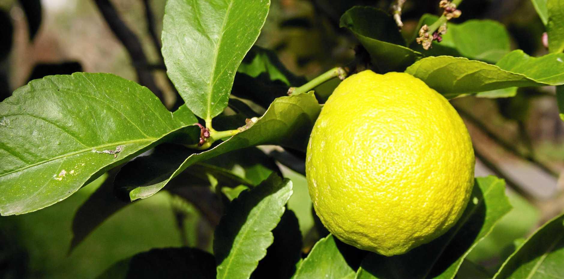 Eureka lemon ripening on the tree in the morning sun.