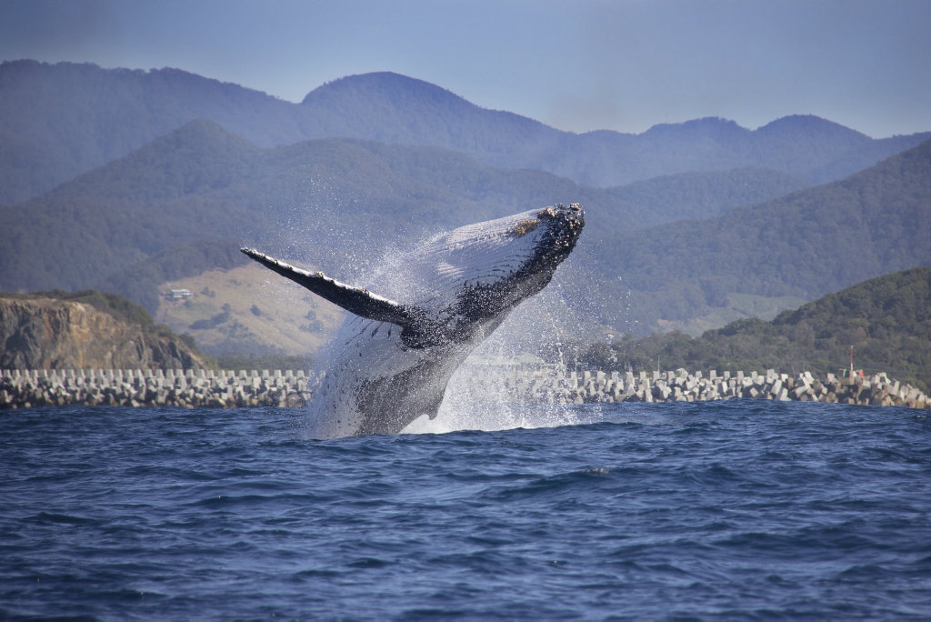 Image for sale: Humpback whale breaching out the front of the harbour.