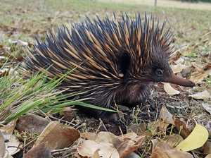 Keep an eye open for an echidna train ... yes it's a thing