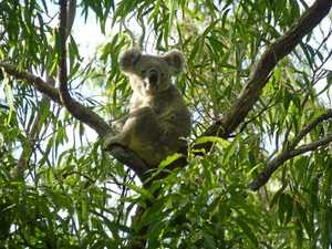 Become a koala watcher and help save the species