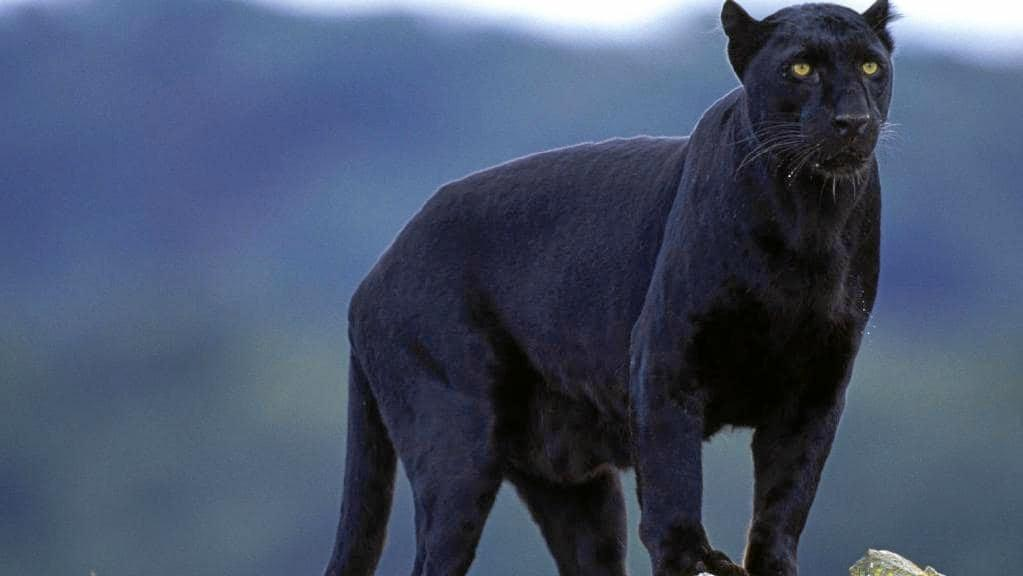 There has been an influx of big cat sightings across the region in recent weeks.