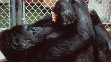 Koko, the 230-pound gorilla who converses in sign language, admires her new kitten in 2004. Picture: AP