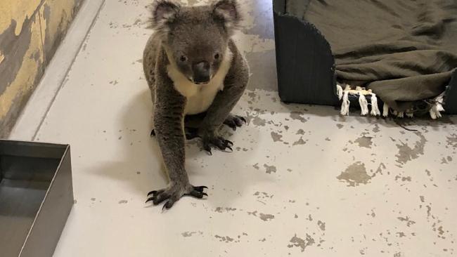 Curious koala walks into dog shelter
