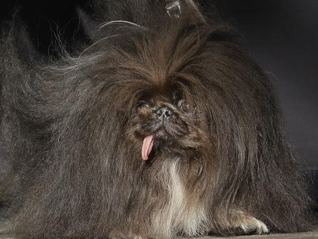 Wild Thang, a Pekingese. Picture: AP