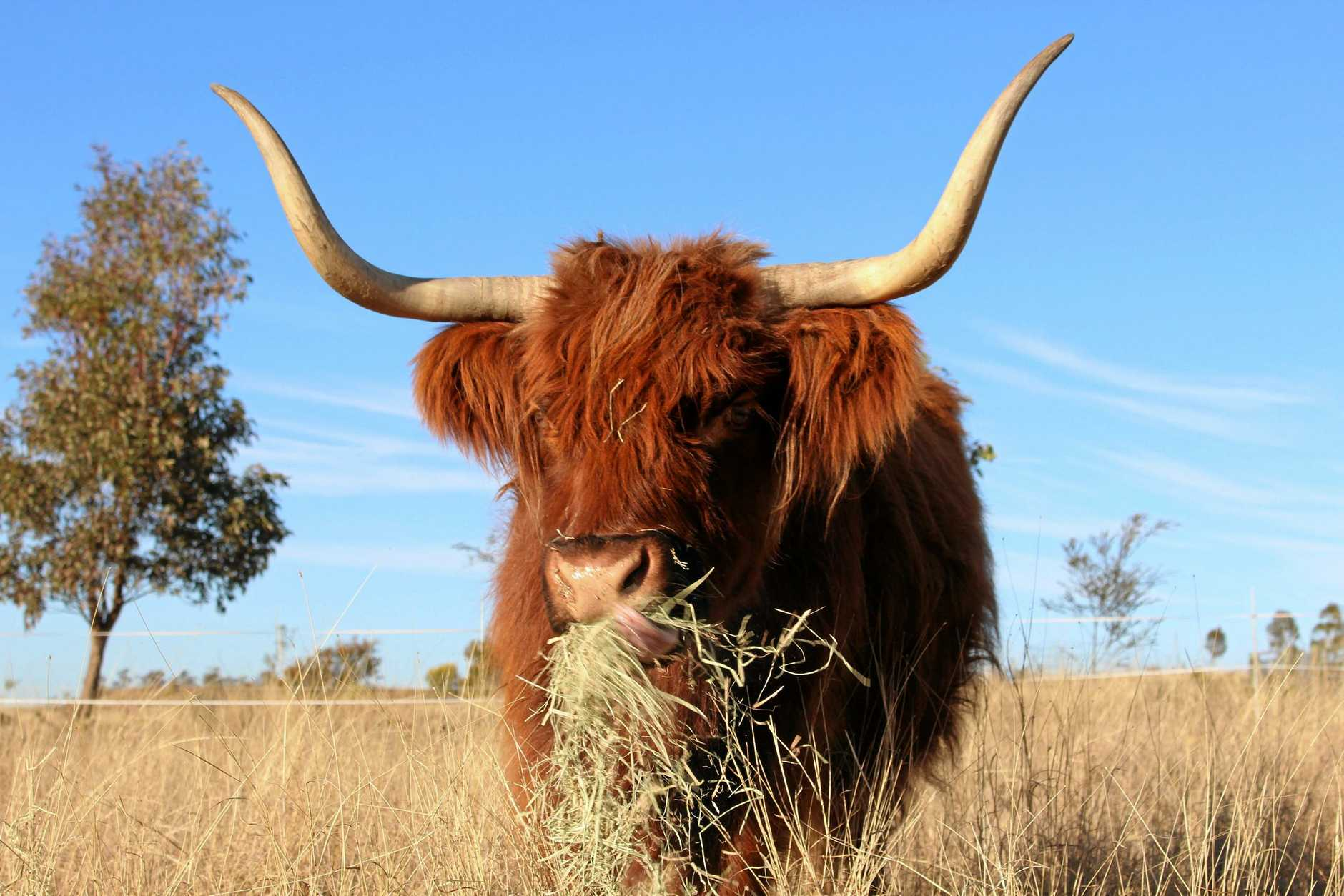 QUIRKY: Junabee farmer Amanda Hildred loves raising these beautiful-natured Scottish Highlander Cattle, which are being sold as a tourist attraction around the country. Warwick, farm, cattle with horns, brown cows, calves, generic, hay, feeding.