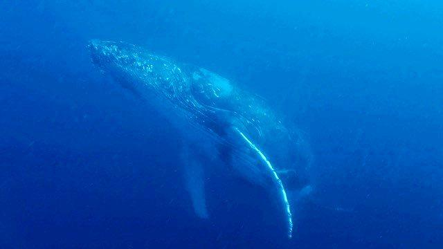STUNNING SIGHT: A young humpback whale got up close to divers underwater on a Sunday dive at Wolf Rock.