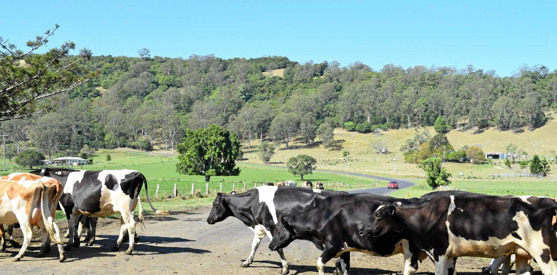 Cows on the road are a daily danger on the Northern Rivers.