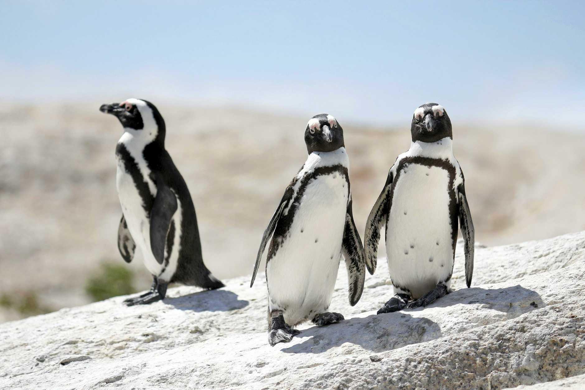 Penguins at Boulders Beach, Simon's Town.