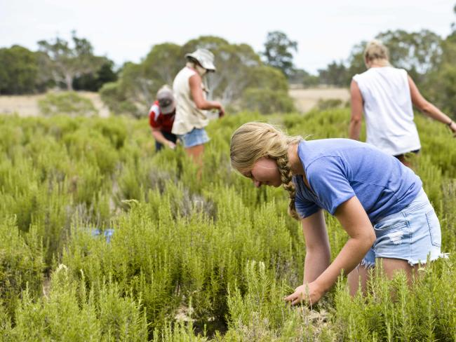 Backpackers pick herbs. Picture: Dannika Bonser