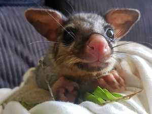 Are possums causing havoc in your roof?