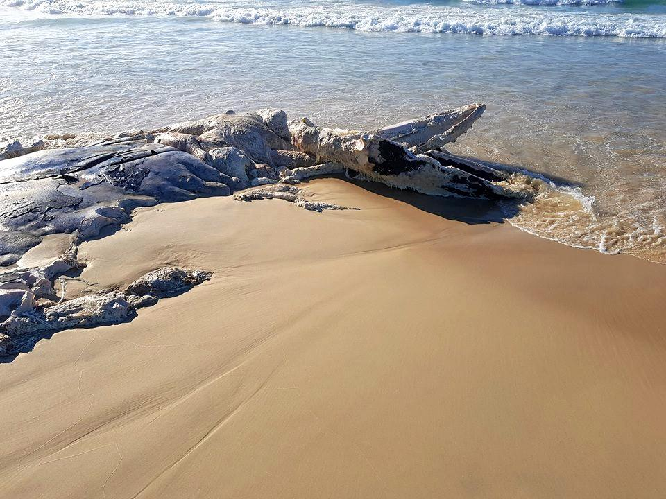 A dead whale has washed up on the beach at Dilli Village this morning.