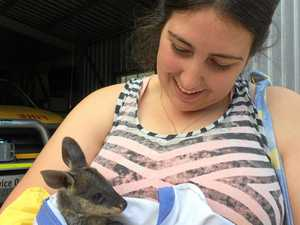 The joys of caring for a teething baby wallaby