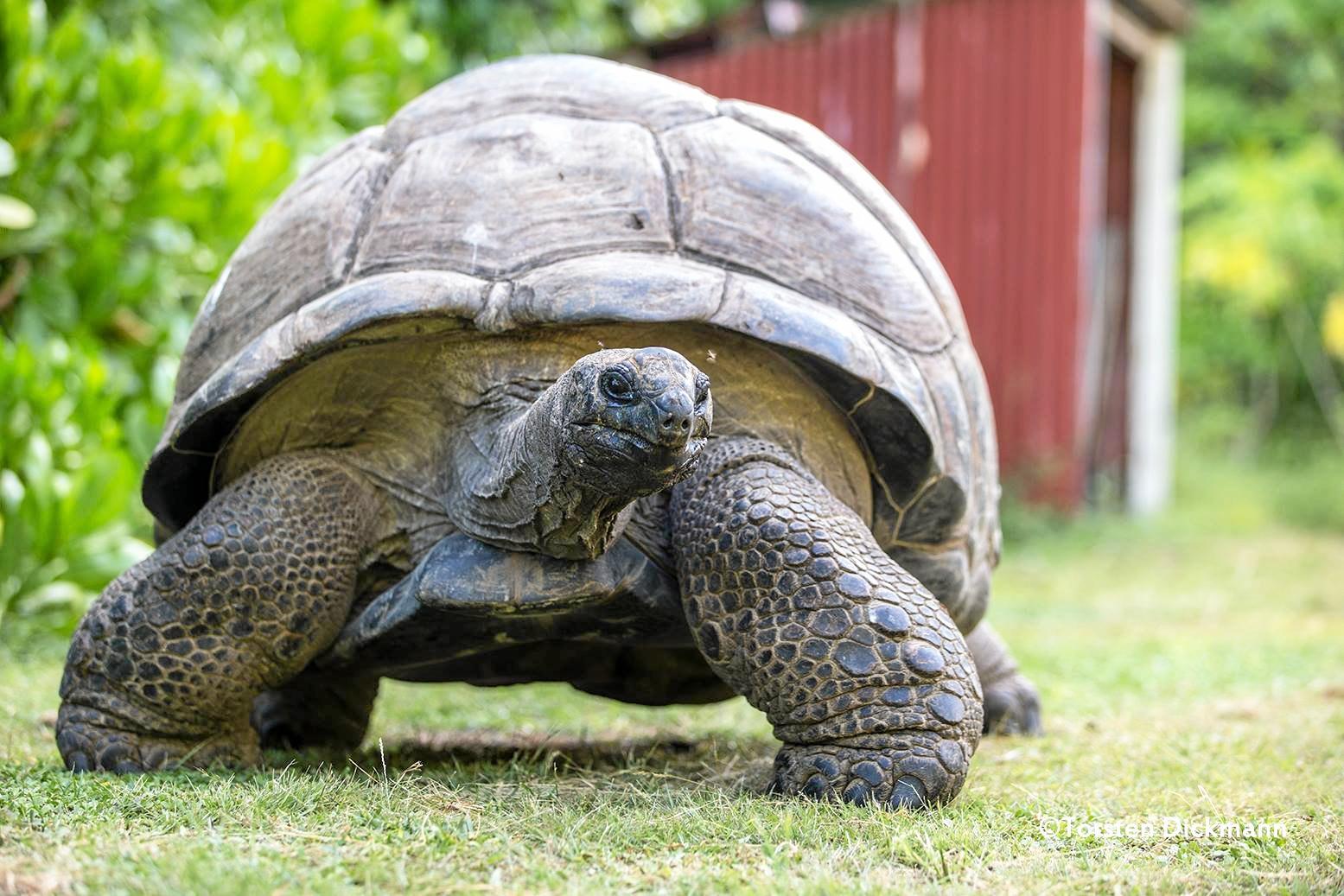 SUN ISLANDS: The giant tortoises of the Seychelles Islands.