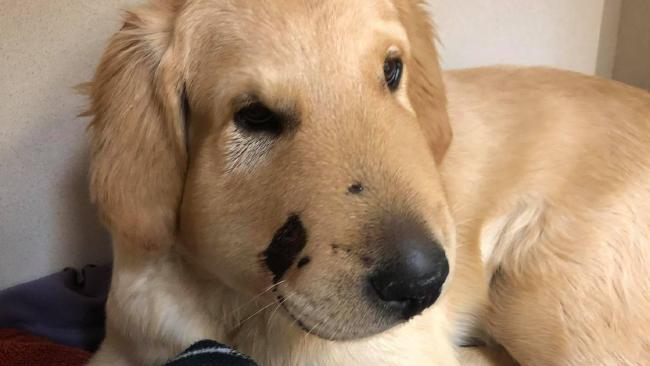 Todd is on the road to recovery after being bitten by a rattlesnake while trying to protect his owner.