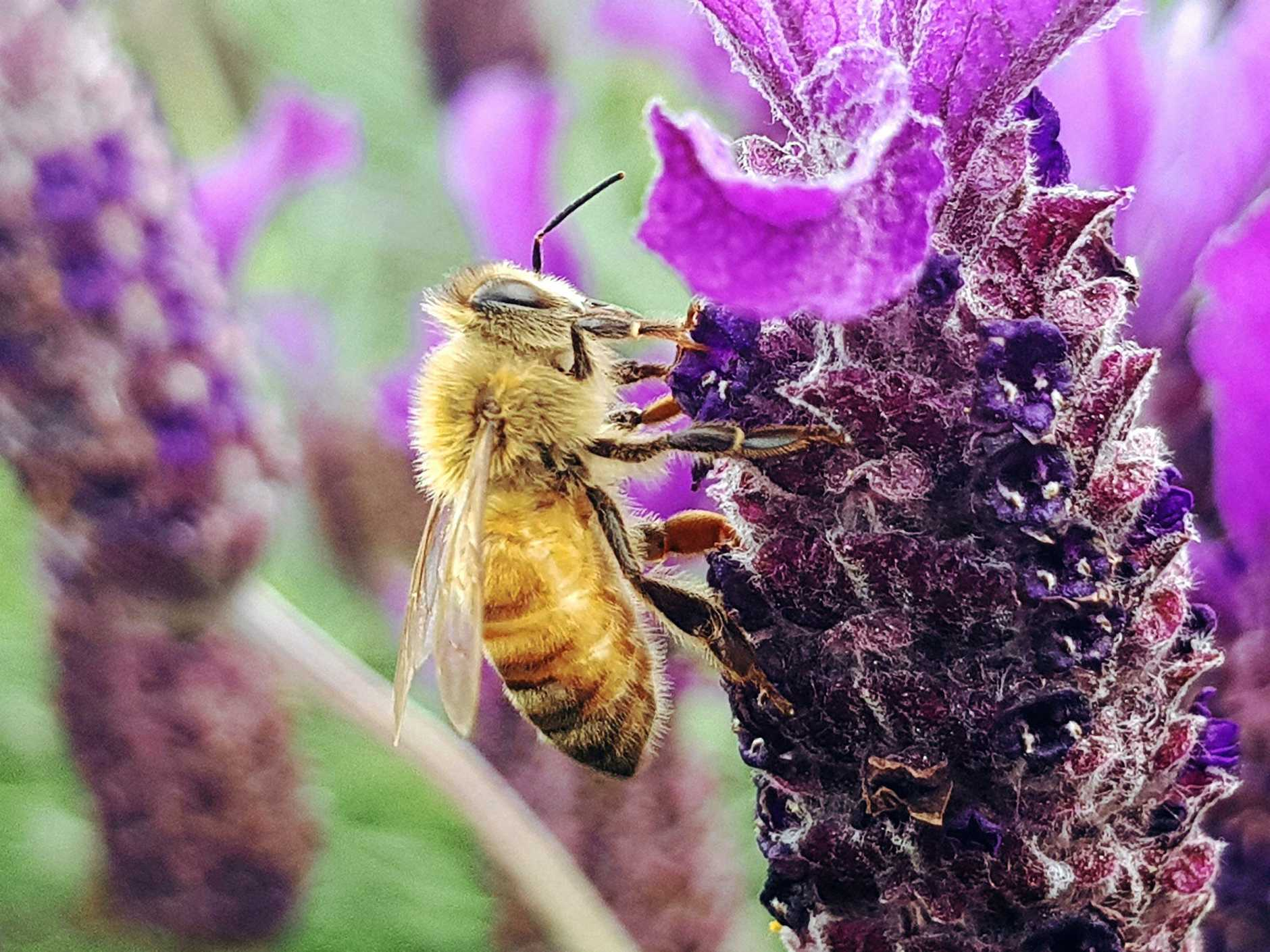 Lavender is a bee-friendly plant and lovely to have in the garden.