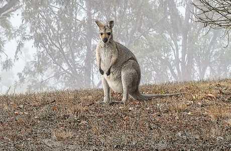 A kangaroo in dry surroundings at the dam.