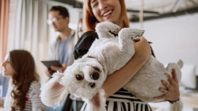 Maltese terriers are not a work expense. Picture: iStock