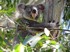 Tweed Coast koala's receive habitat boost