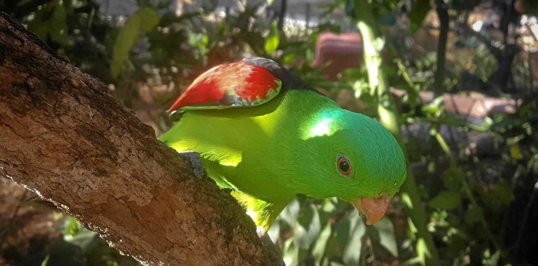 The new Red Wing bird at the Rockhampton Zoo.