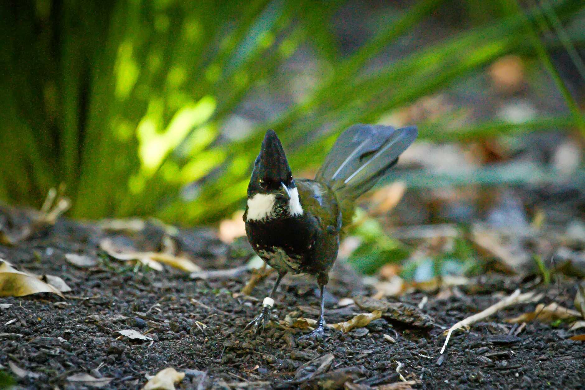 The new Whip bird at the Rockhampton Zoo.