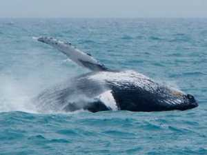 Humpbacks are here but where is Migaloo?