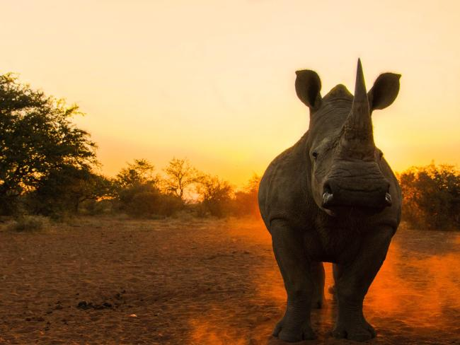 Rhinos are critically endangered. Picture: Jason Savage