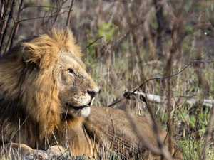 TORN APART: Rhino poachers 'eaten alive' by lions