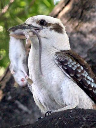 Kookaburras will eat almost anything they can catch, from insects to rodents.