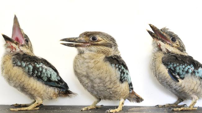 A trio of 4-week-old kookaburra chicks.