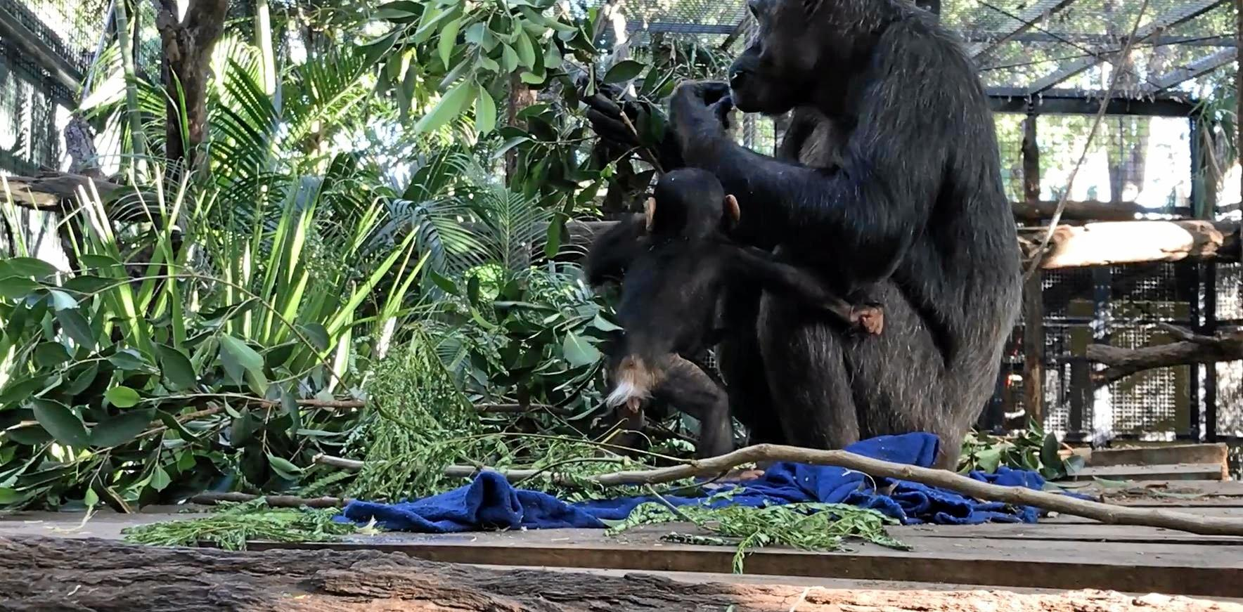 Still images taken from the video of baby Capri taking her first steps.