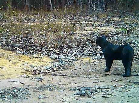 A very large black cat caught on camera at a Miva property, an animal which Wendy Elsley said could be mistaken by some to be a black panther.