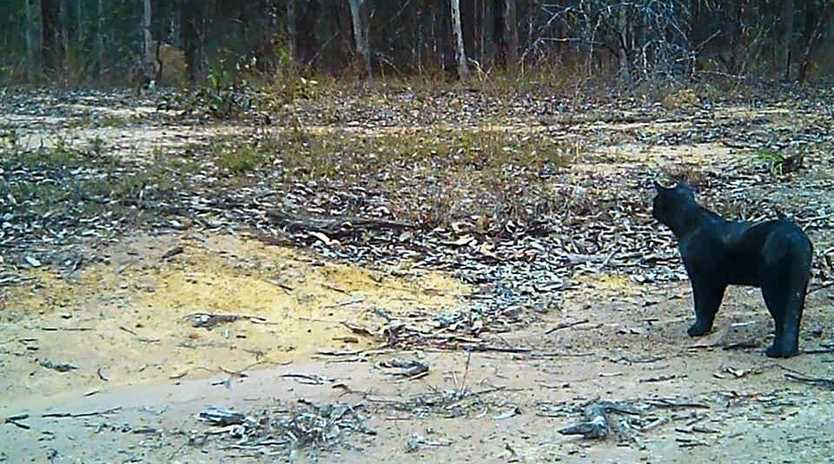FOUND IT? A large black cat was caught on camera at a Miva property by Wendy and Glenn Elsley, but they are not convinced it is the region's legendary black panther. Note: while the timestamp says 2014, Mrs Elsley said it has not been set up on the camera.