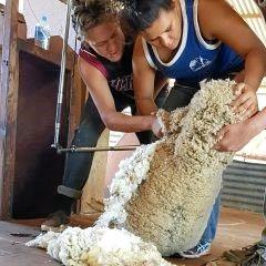 LIFE SKILLS: Shearing is not an easy thing to do because it requires hand eye coordination.