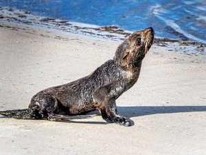 Fur seals sighted at popular Coast tourist spot