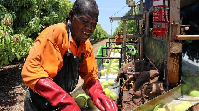 Solomon  Islands  workers  harvesting  mangoes  at  Nutrano  in  Katherine