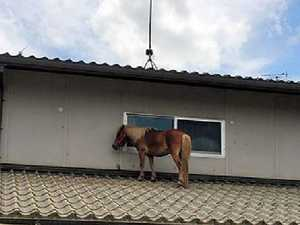 Tiny missing horse found on roof