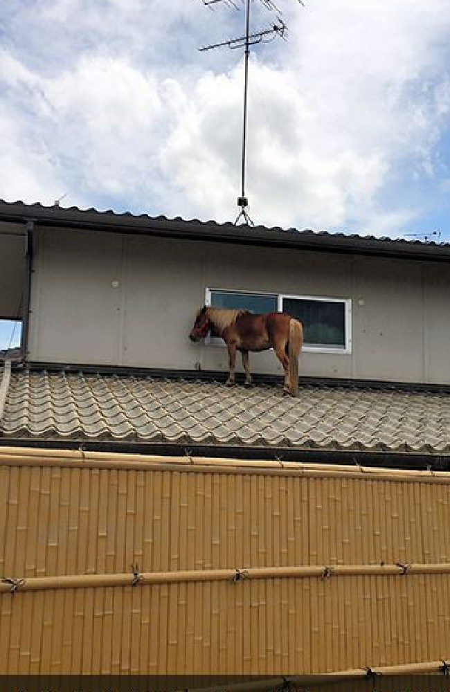 Locals were treated to the bizarre sight of Leaf the miniature horse stranded on the roof of a private home three days after going missing in floodwaters. Picture: Courtesy of Peace Winds Japan