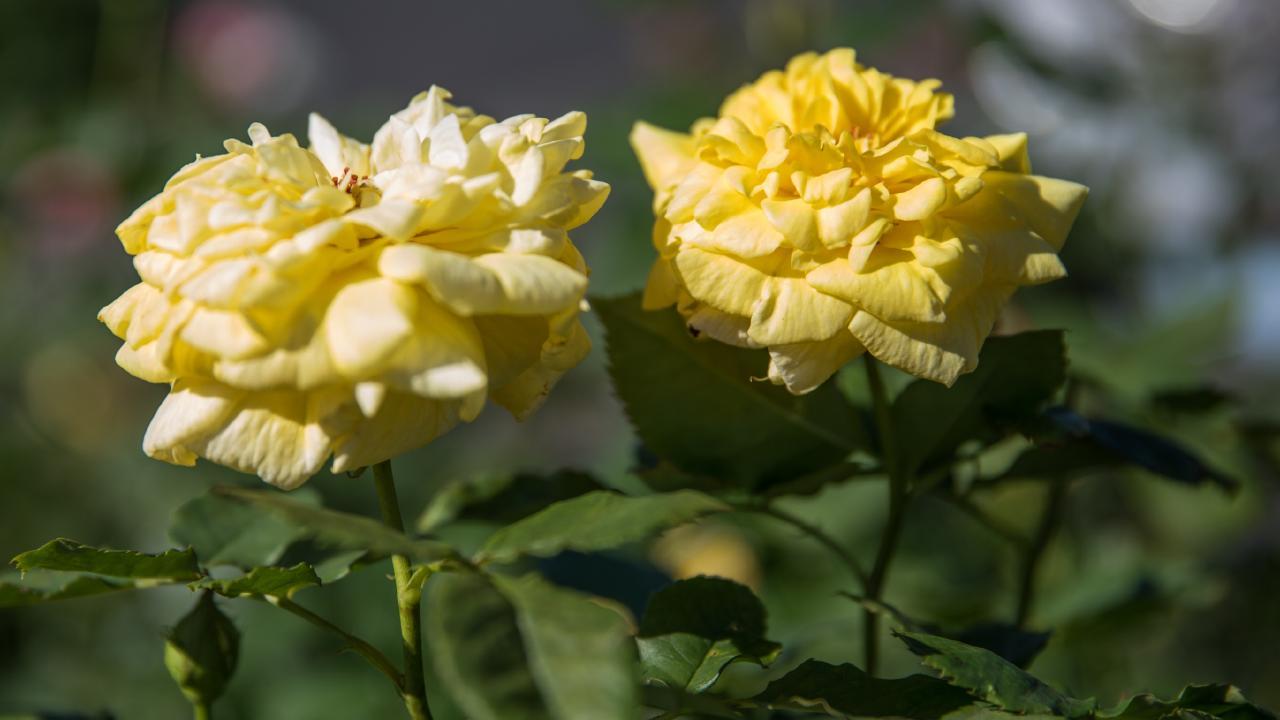Roses at Theo's Garden Centre, Kallangur. Photo: Dominika Lis.