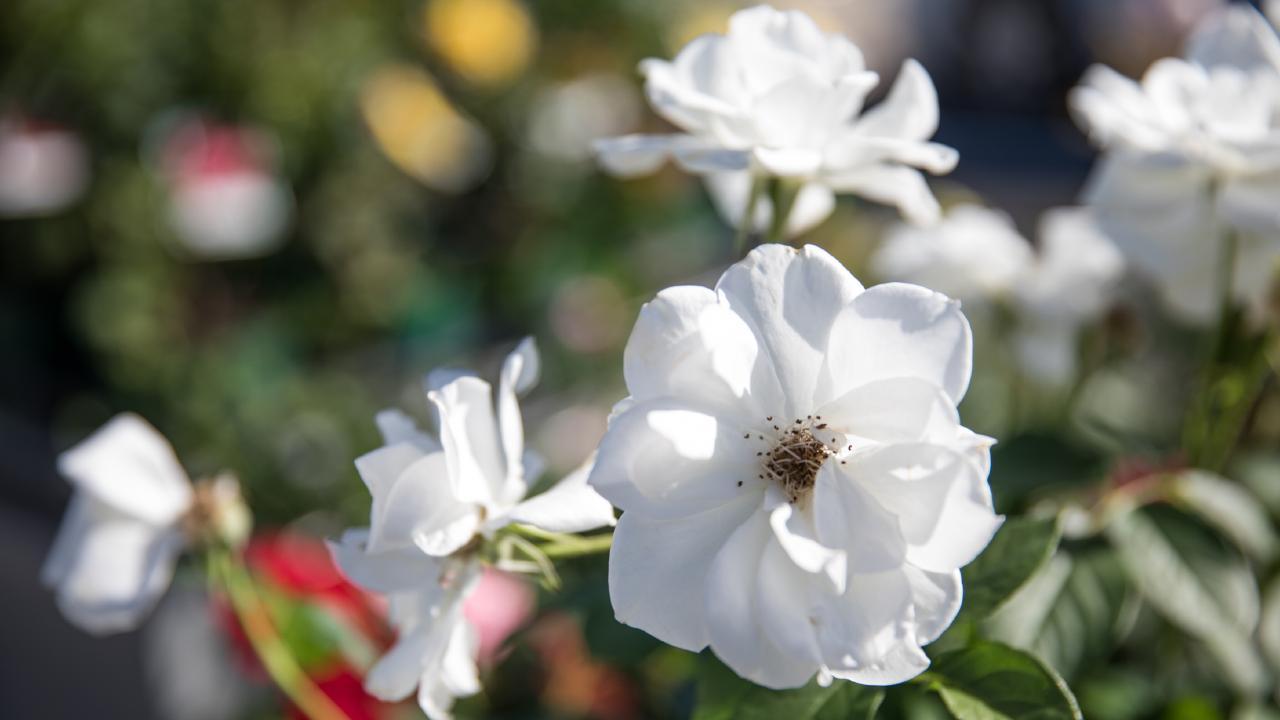 Beautiful roses at Theo's Garden Centre, Kallangur. Photo: Dominika Lis