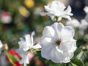 Expert tips for growing roses