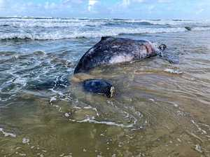 Journey ends at Tallow Beach for humpback