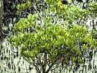 Mangrove thief cops $12,000 fine