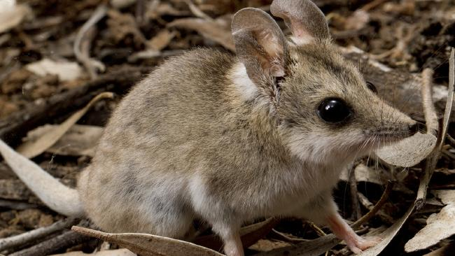 A fat-tailed dunnart. Picture: David Paul/Museums Victoria