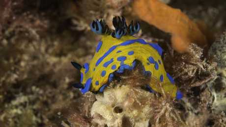 A colourful Verco's nudibranch at Blairgowrie Marina. Picture: Julian Finn/Museums Victoria