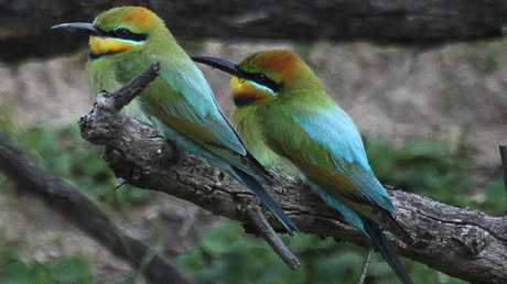 Colourful rainbow bee-eaters at Hovells Creek. Picture: Trevor Pescott