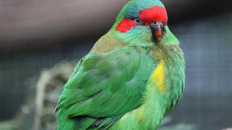 A musk lorikeet may look different to its rainbow relative, but is just as brightly coloured. Picture: Sam Rosewarne.