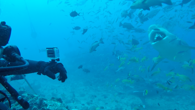 Aaron Hay diving with bull sharks in Fiji.