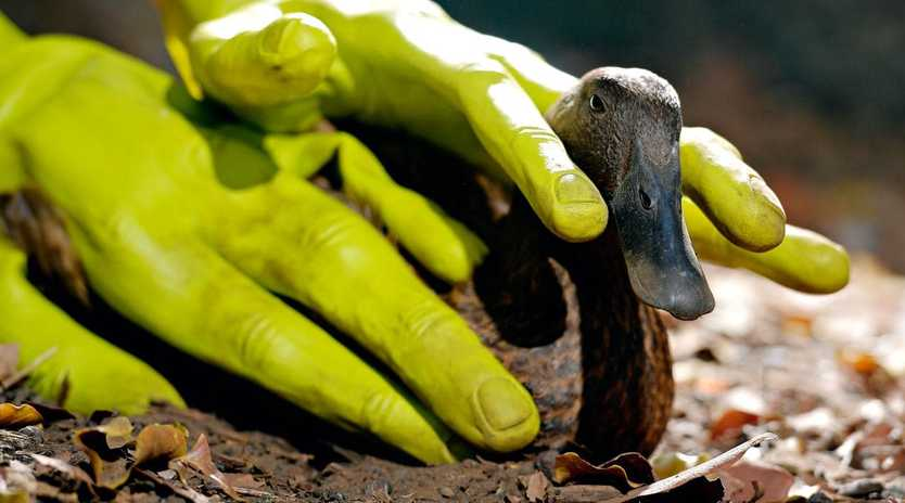 Duck Duck is one of the paltry two ducks that remain on a Humpty Doo property with fears that the other eight ducks have been abducted by aliens.