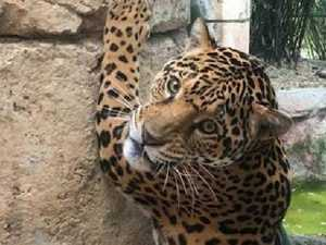 Jaguar's killing spree after escaping zoo