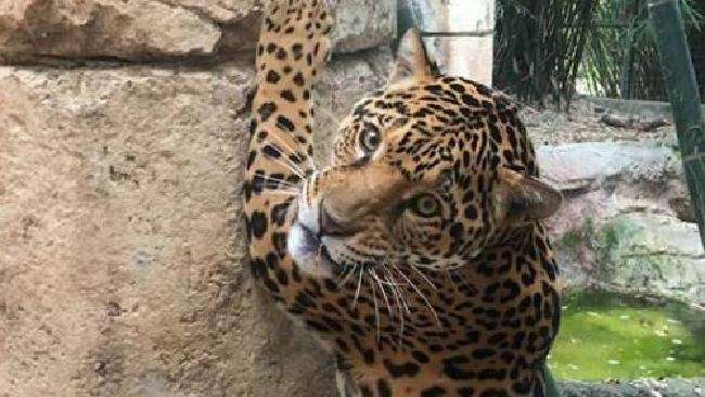 Jaguar escapes enclosure at New Orleans zoo, kills 6 animals